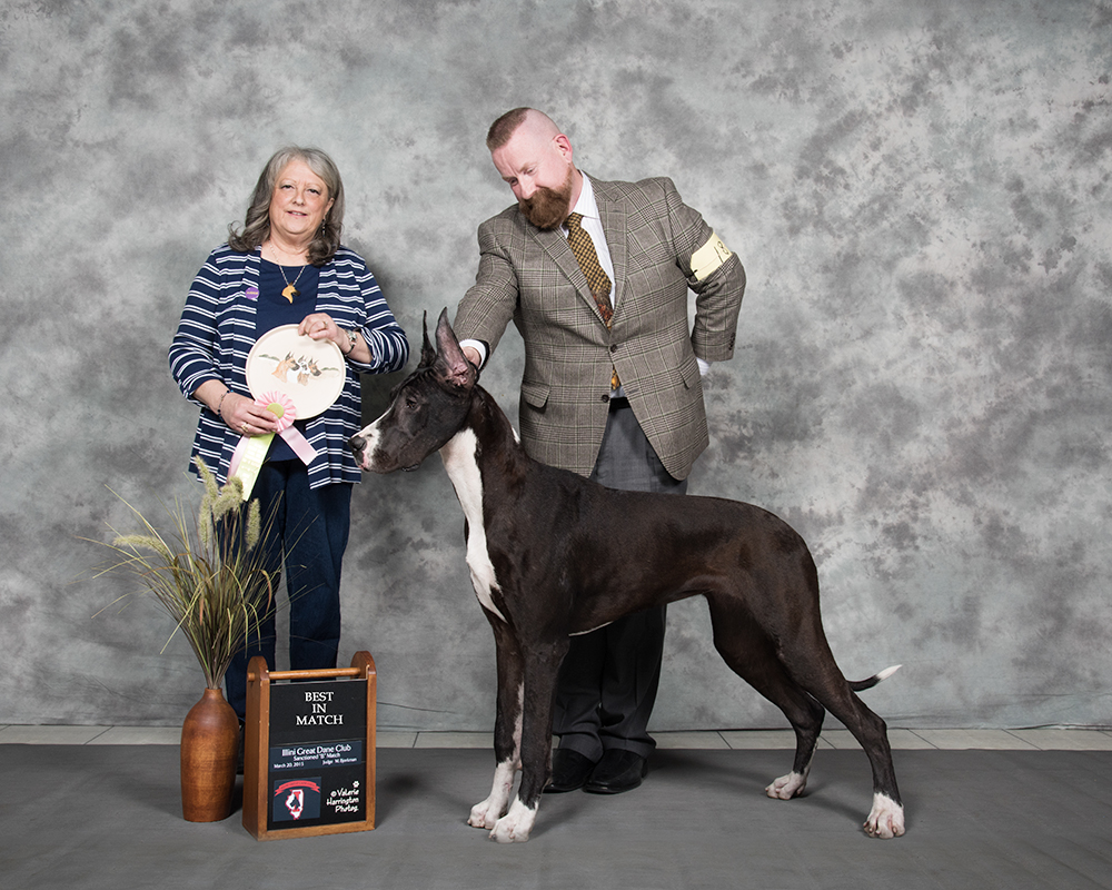 Mantle Great Dane showing