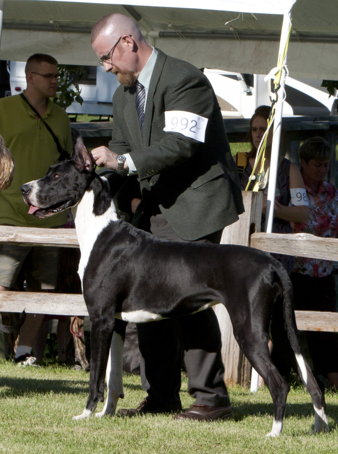 Mantle Great Dane showing (Kizzy)