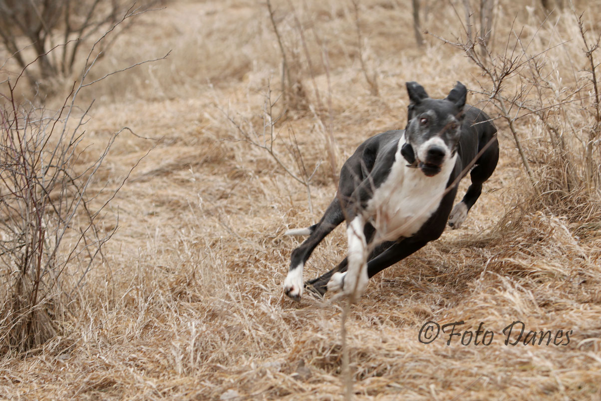 Senior Great Dane running