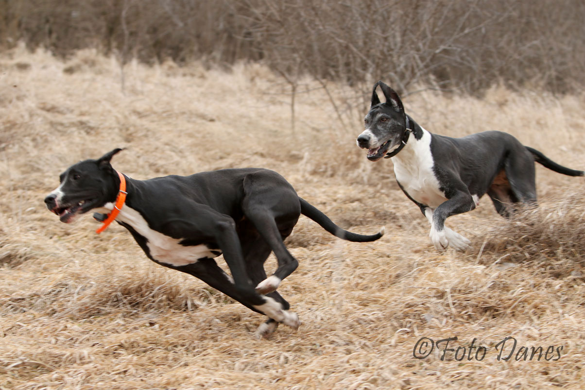 Great Danes running