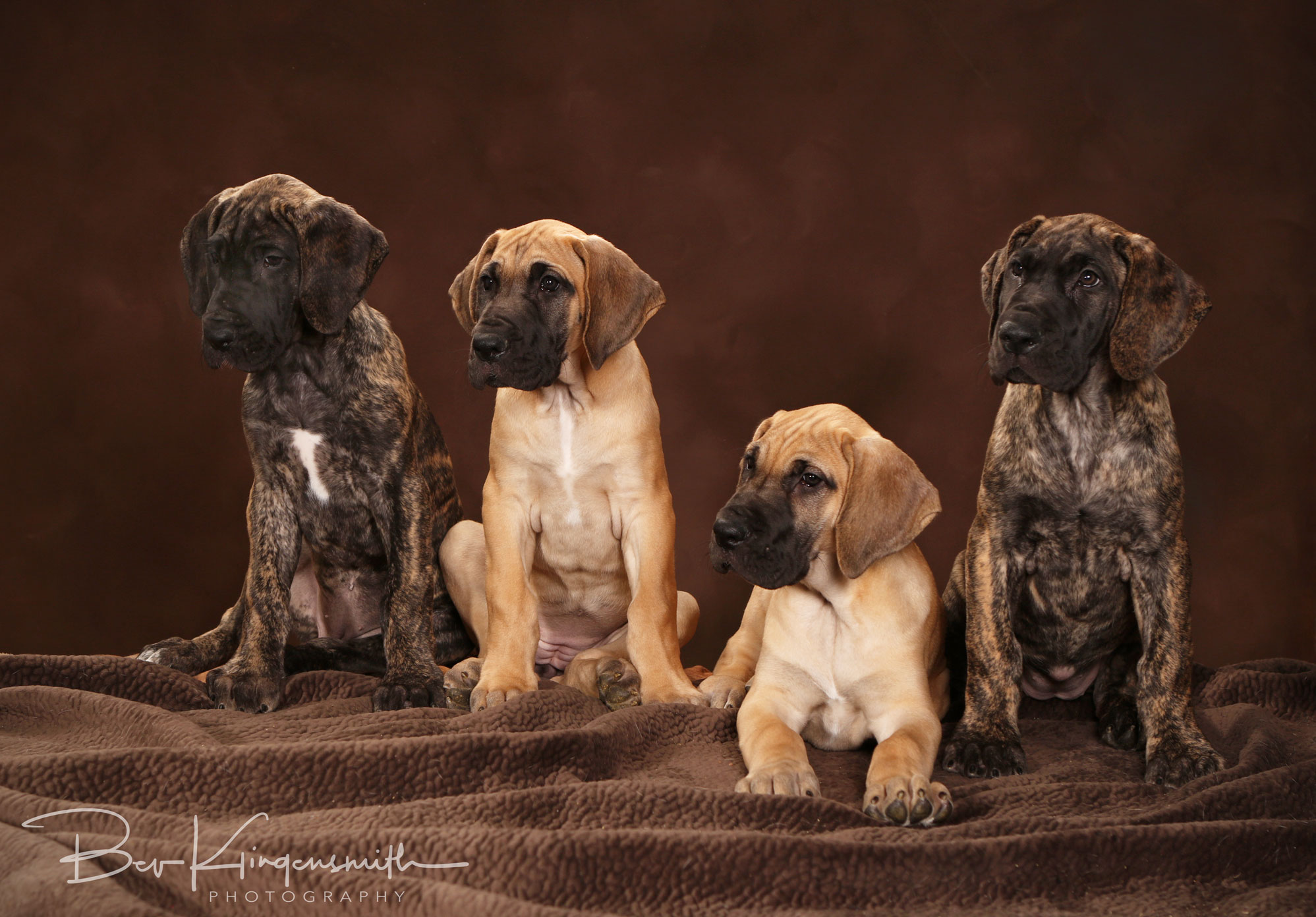 fawn and brindle Great Dane puppies