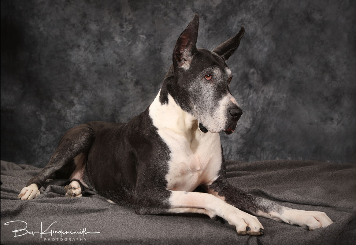 Senior Great Dane