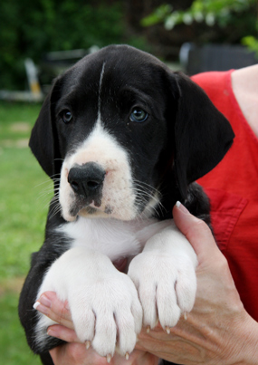 Mantle great dane puppy