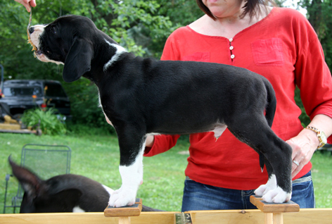 mantle male Great Dane puppy 6 1/2 weeks