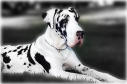 Natural eared harlequin great dane