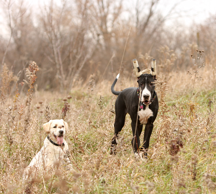 Great Dane and Lab puppies playing