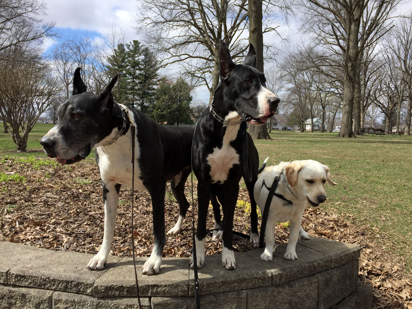 Great Danes and Lab