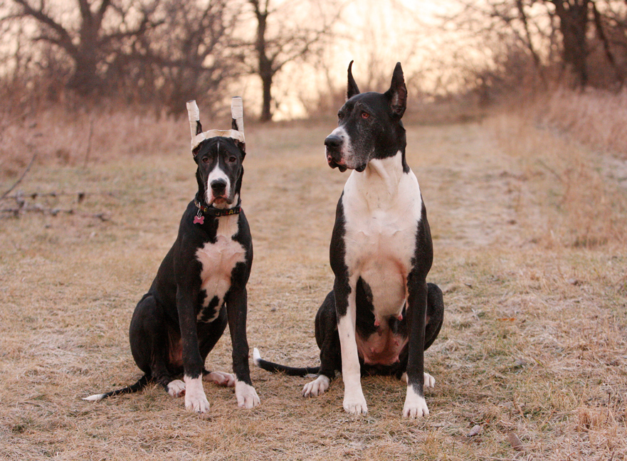 mother and daughter Great Dane