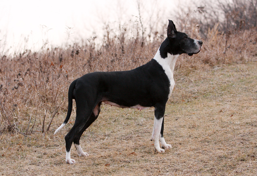 show quality mantle great dane