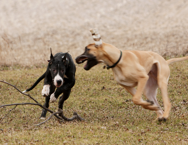 Great Dane playing