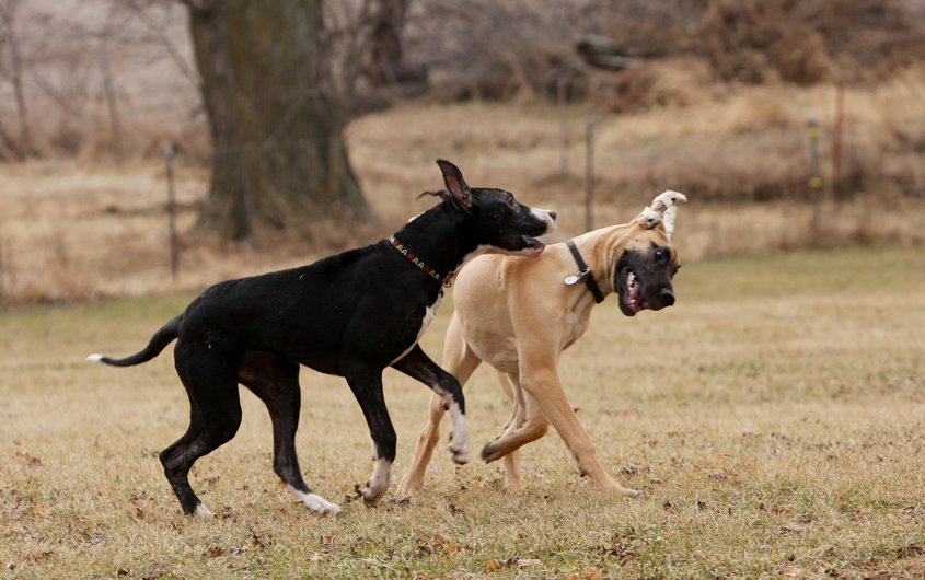 Great Danes playing