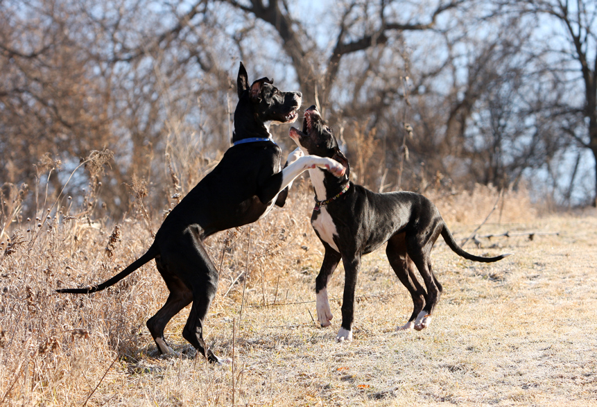 mantle great danes