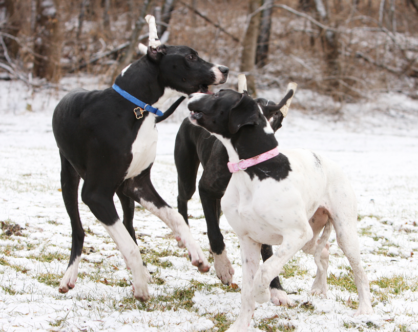 7 month old great danes