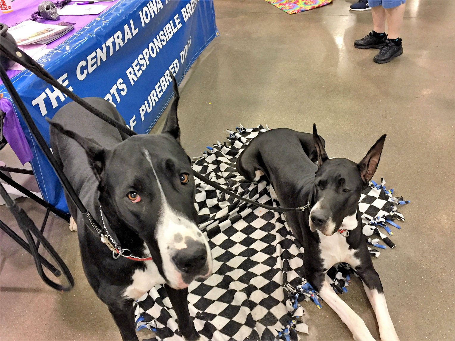 Great Dane sisters, Gigi and Heidi, at the Pet Expo