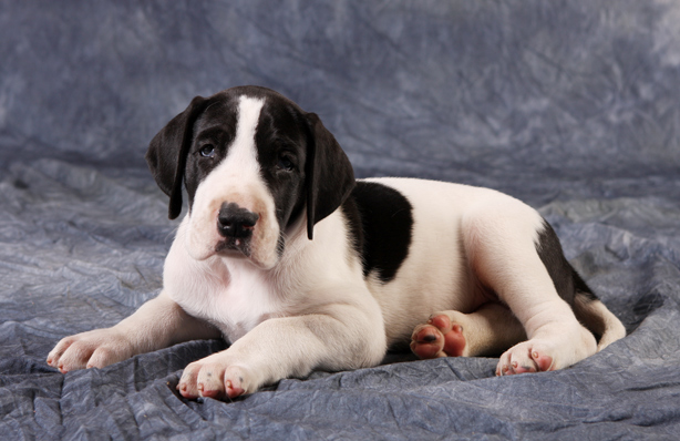 piebald great dane puppy