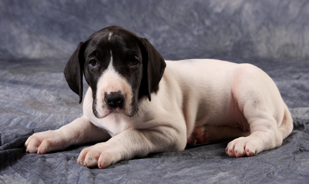 5 1/2 week old piebald great dane puppy