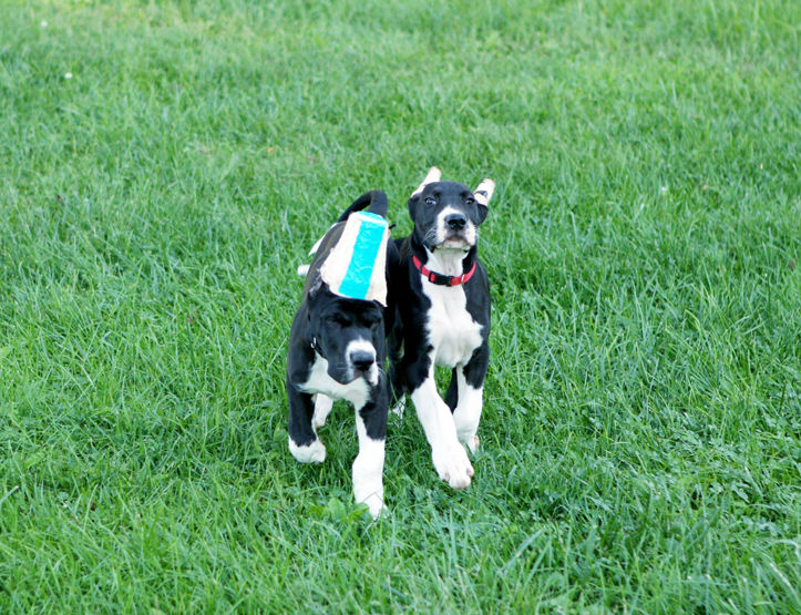 Great Dane puppies running