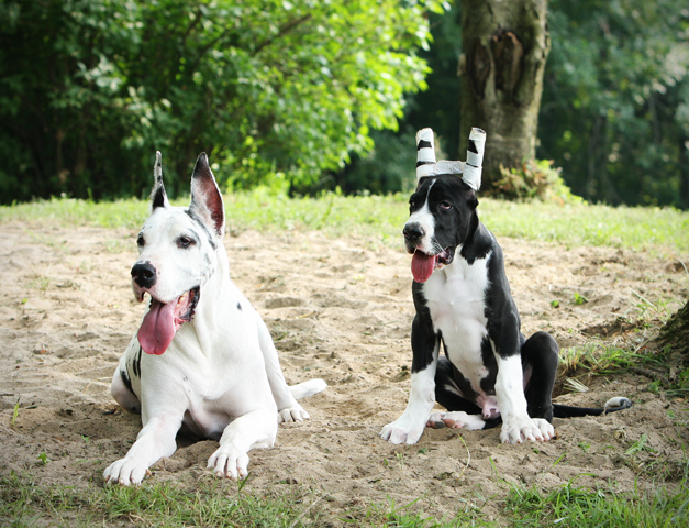harl & mantle great dane