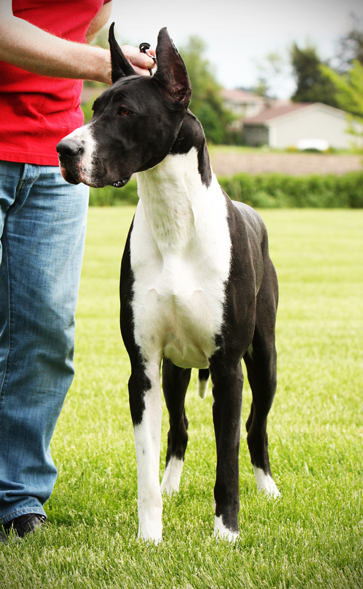 mantle great dane
