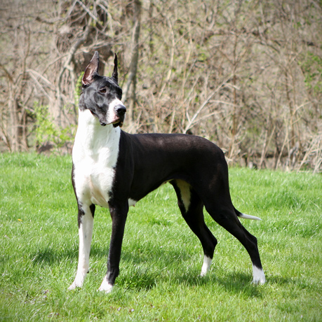 Mantle Great Dane - Flighty Foto Absolut CGC