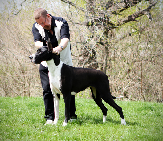 Show marked mantle Great Dane
