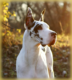 Harlequin Great Dane cropped ears