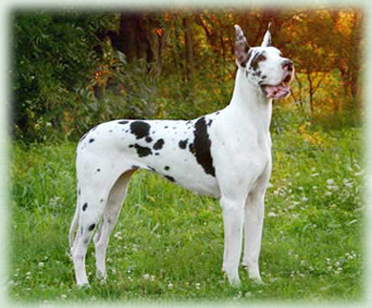 Champion Female Harlequin Great Dane