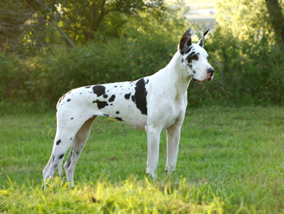 CH Harlequin Great Dane