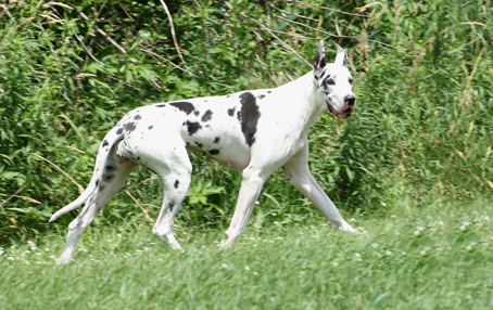 harlequin great dane moving