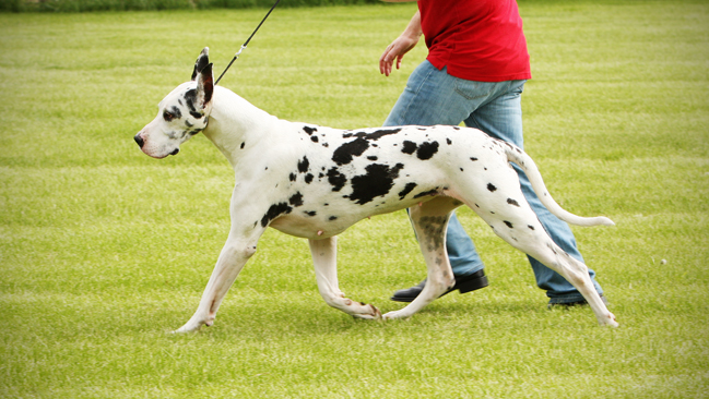 Great Dane gaiting