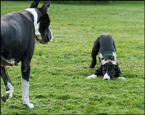 great dane mom and puppy playing