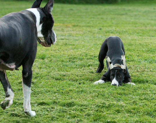 mantle great danes playing