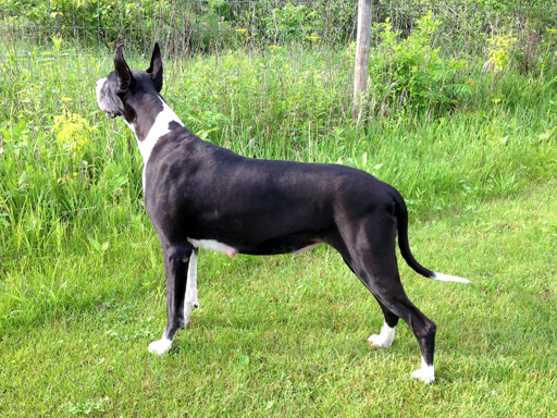 Pregnant Great Dane