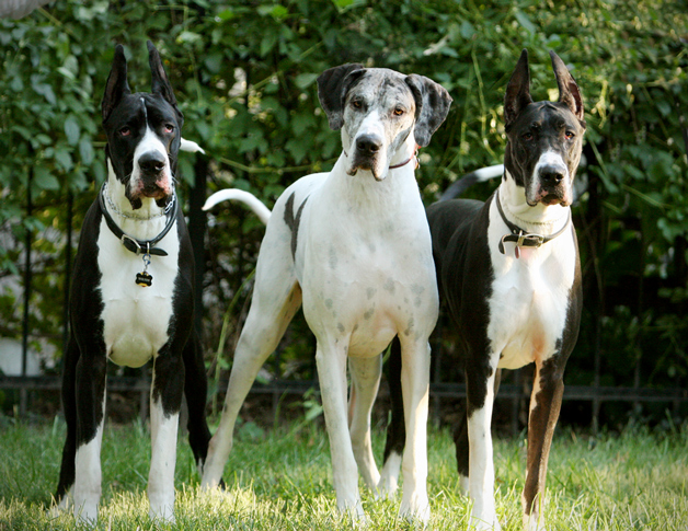 Mantle & merliquin great danes
