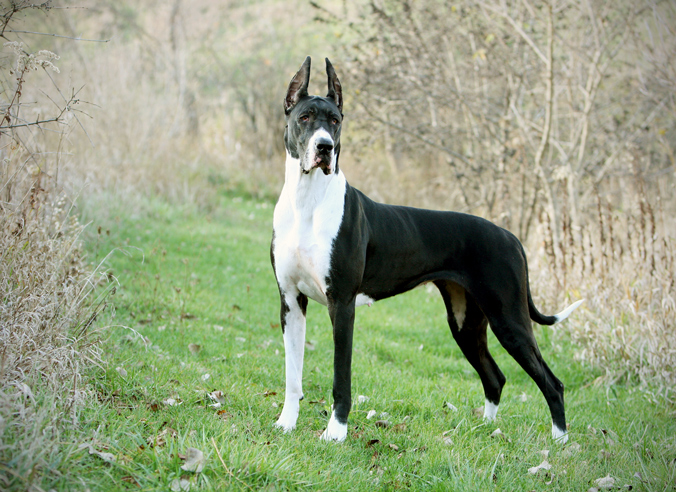 4 year old great dane