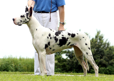 adult harlequin Great Dane