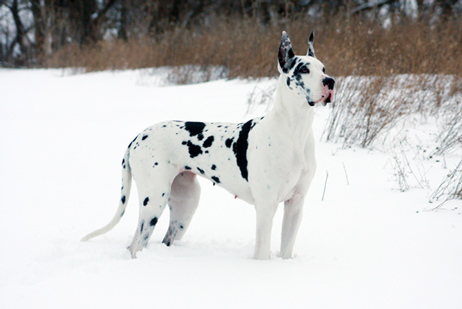 harlequin great dane in snow
