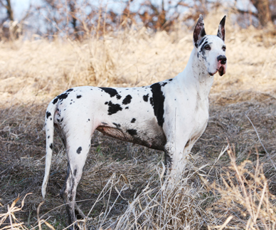 muddy harlequin dane