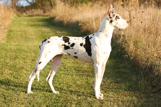 show marked harlequin great dane