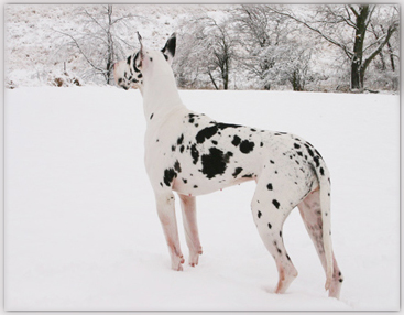 female harlequin great dane