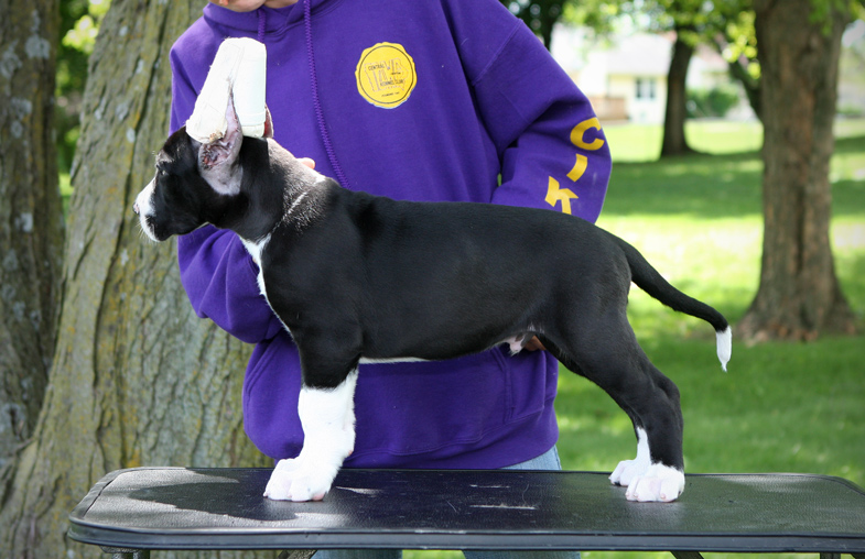 show quality mantle great dane puppy