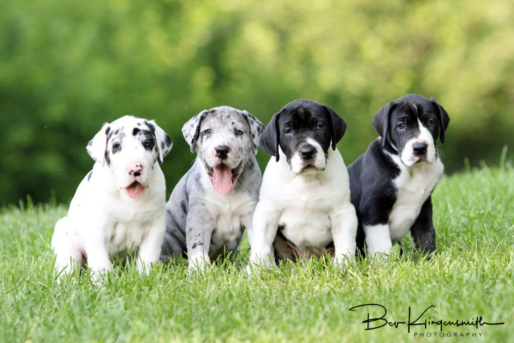 4 week old Dane puppies