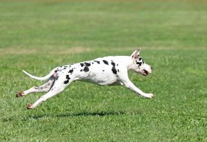 Great Dane lure coursing