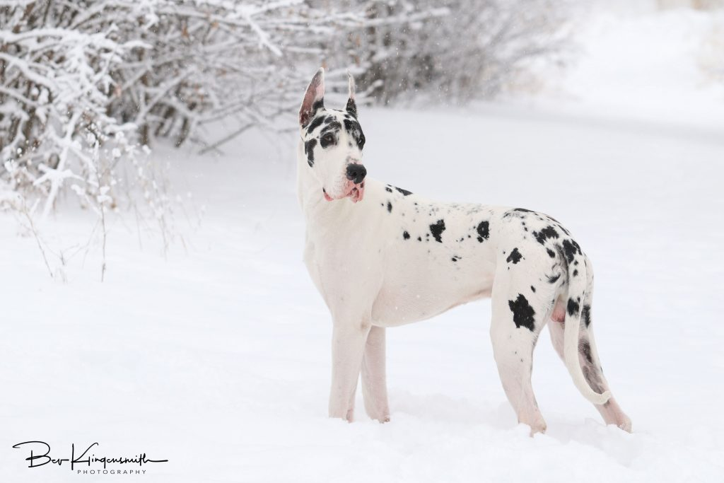 harlequin male great dane