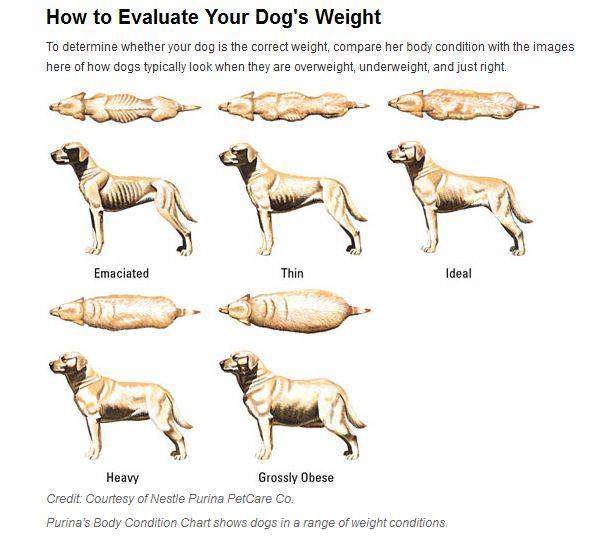 Dog body condition