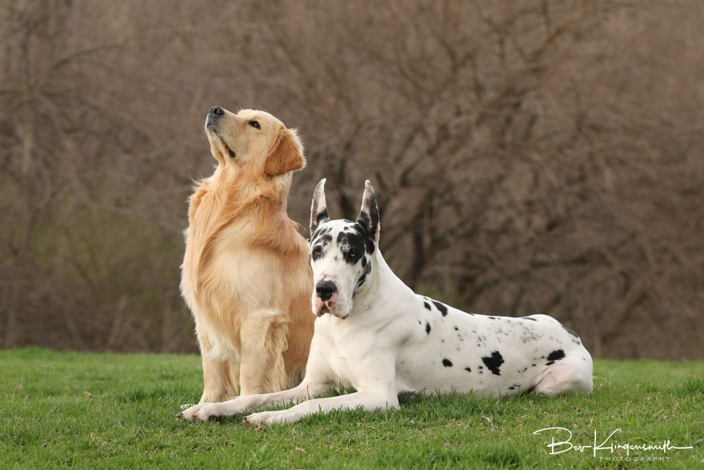 Golden Retriever, Great Dane