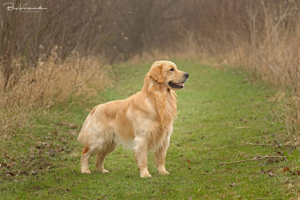 show quality golden retriever