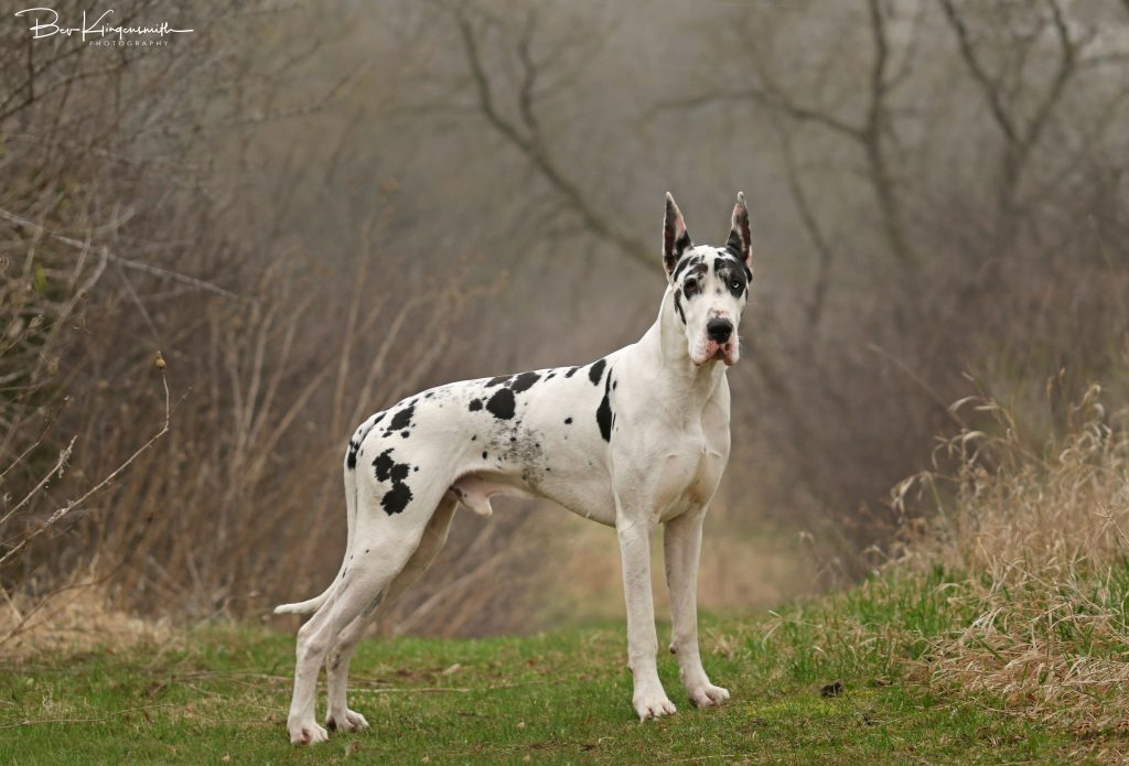 show quality harlequin great dane