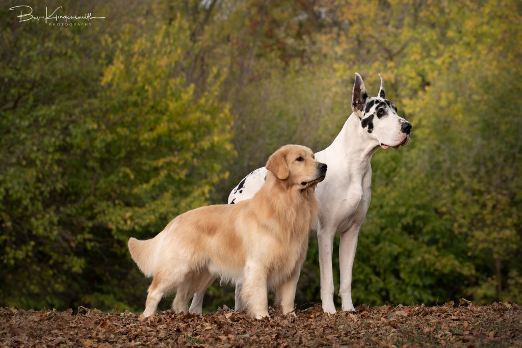 Great Dane and Golden Retriever