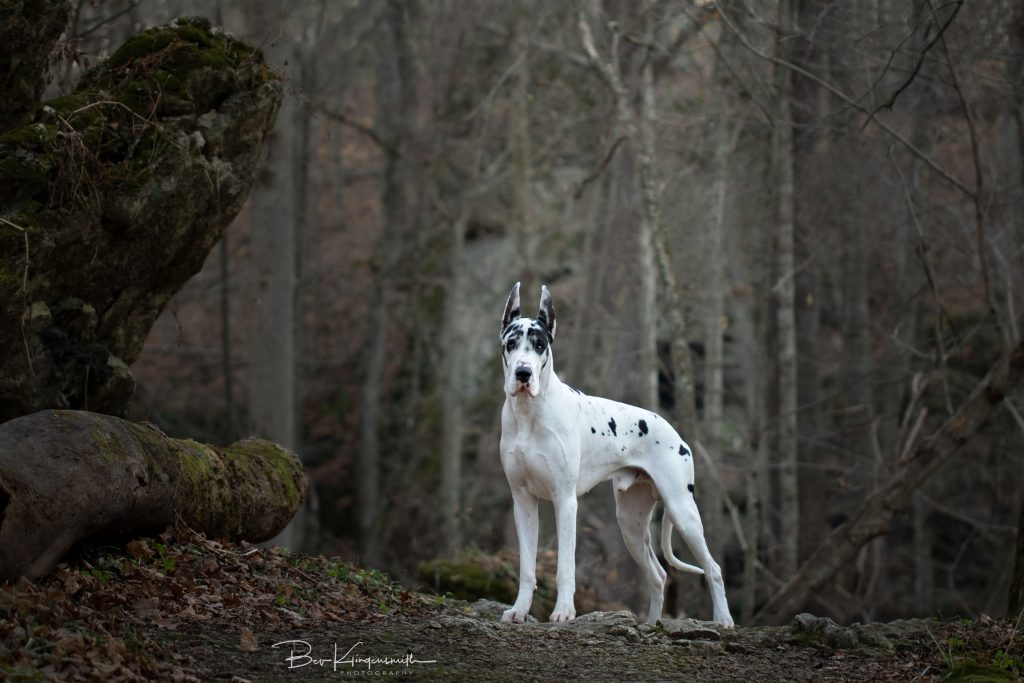 Bing Great Dane